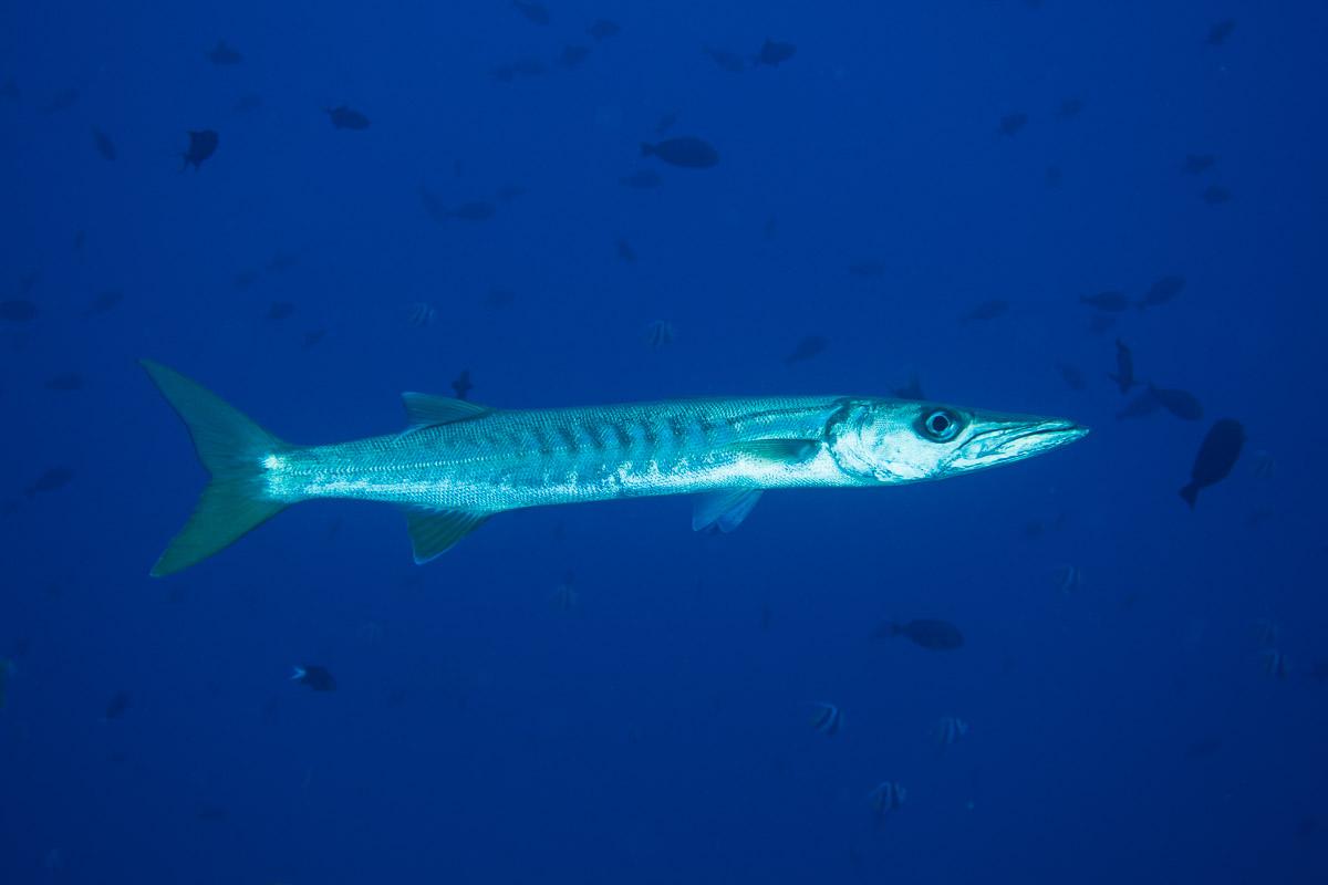 Barracuda -Raja Ampat- 20141008 090759 UW 02361