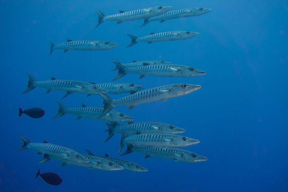 Barracuda -Raja Ampat- 20141008 093140 UW 02389