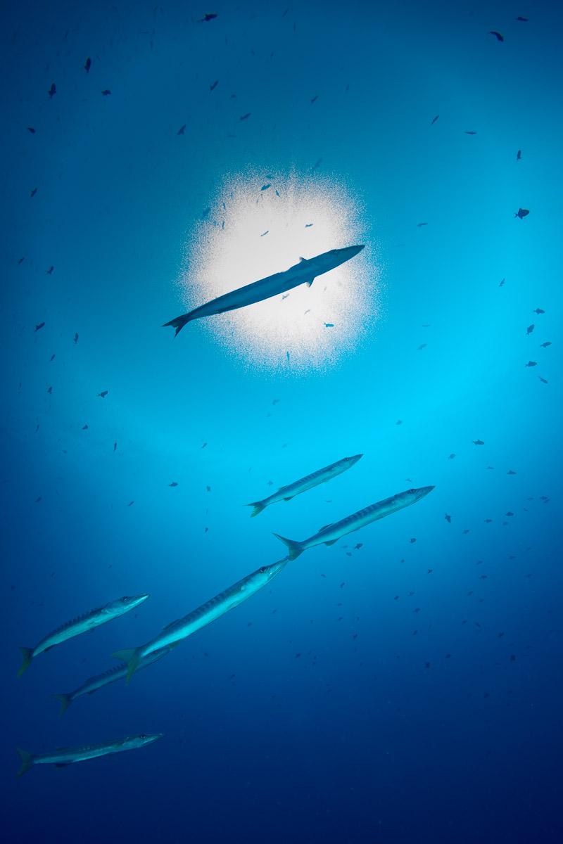 Barracuda -Raja Ampat- 20141014 091954 UW 04297-A1