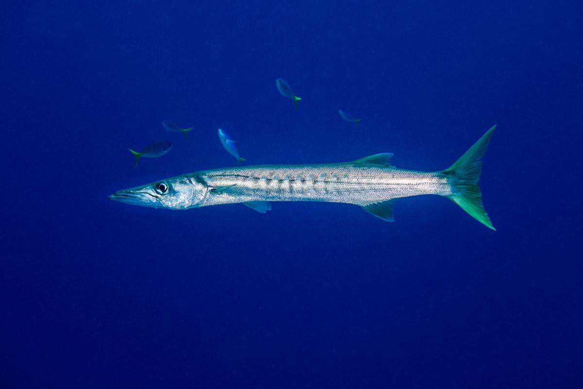 Barracuda -Raja Ampat- 20141018 112803 UW 05997-A1