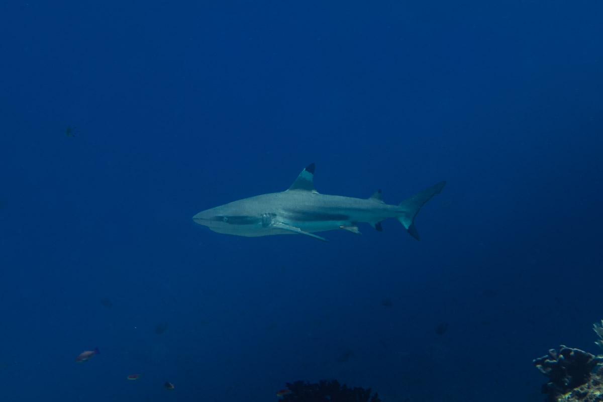 Blacktip-Reefshark -Raja Ampat- 20141008 120410 UW 02483
