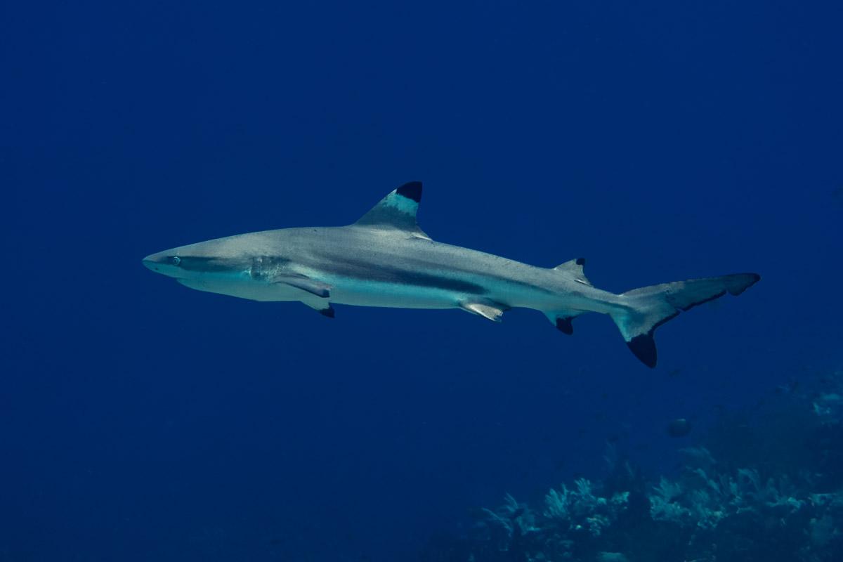 Blacktip-Reefshark -Raja Ampat- 20141008 120416 UW 02484