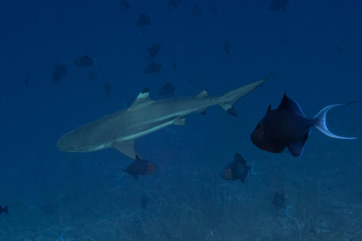 Blacktip-Reefshark -Raja Ampat- 20141018 123011 UW 06066