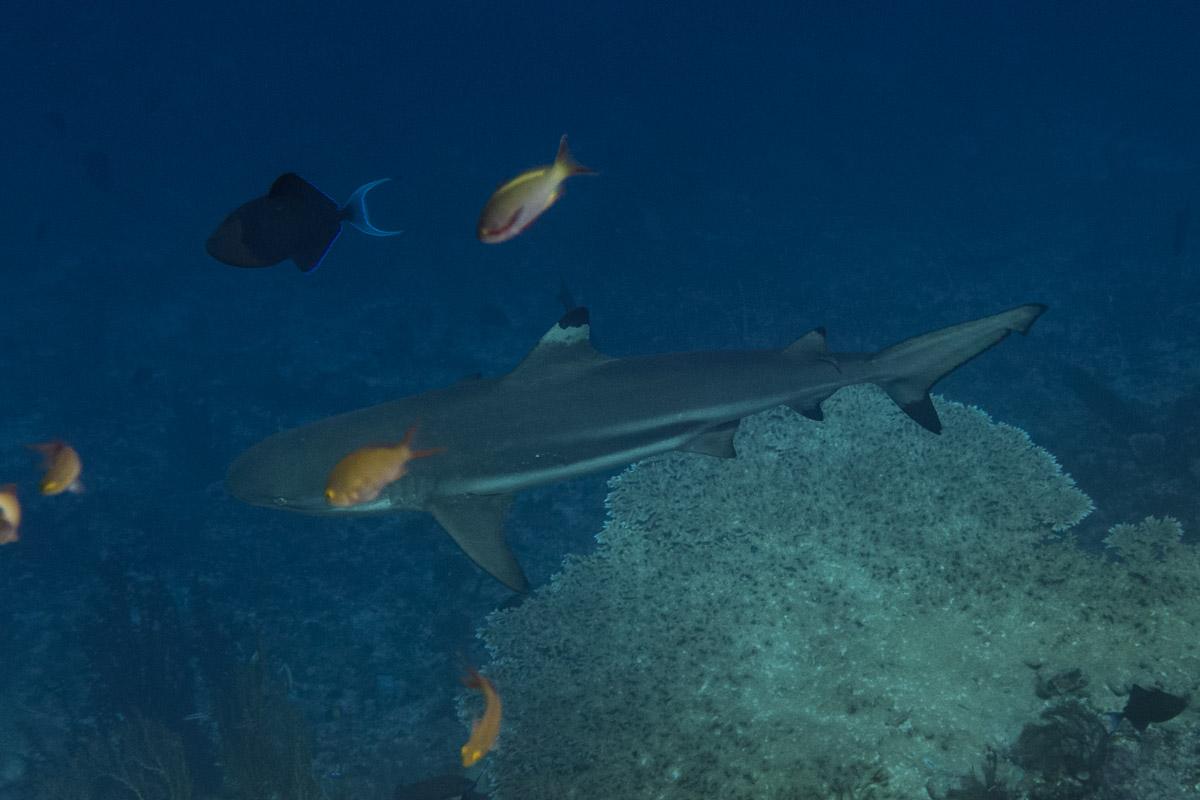 Blacktip-Reefshark -Raja Ampat- 20141018 123016 UW 06067