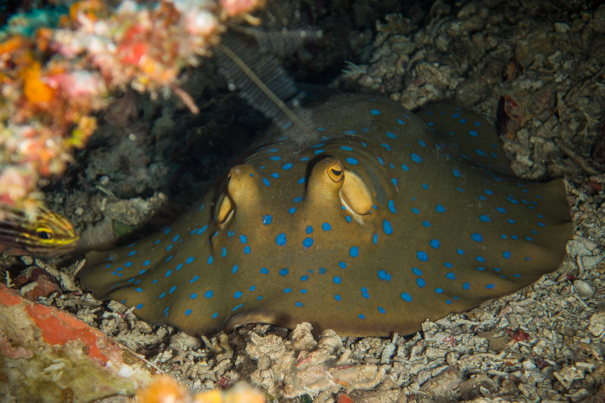 Bluespotted-Ribbontail-Ray -Raja Ampat- 20141017 122608 UW 05650