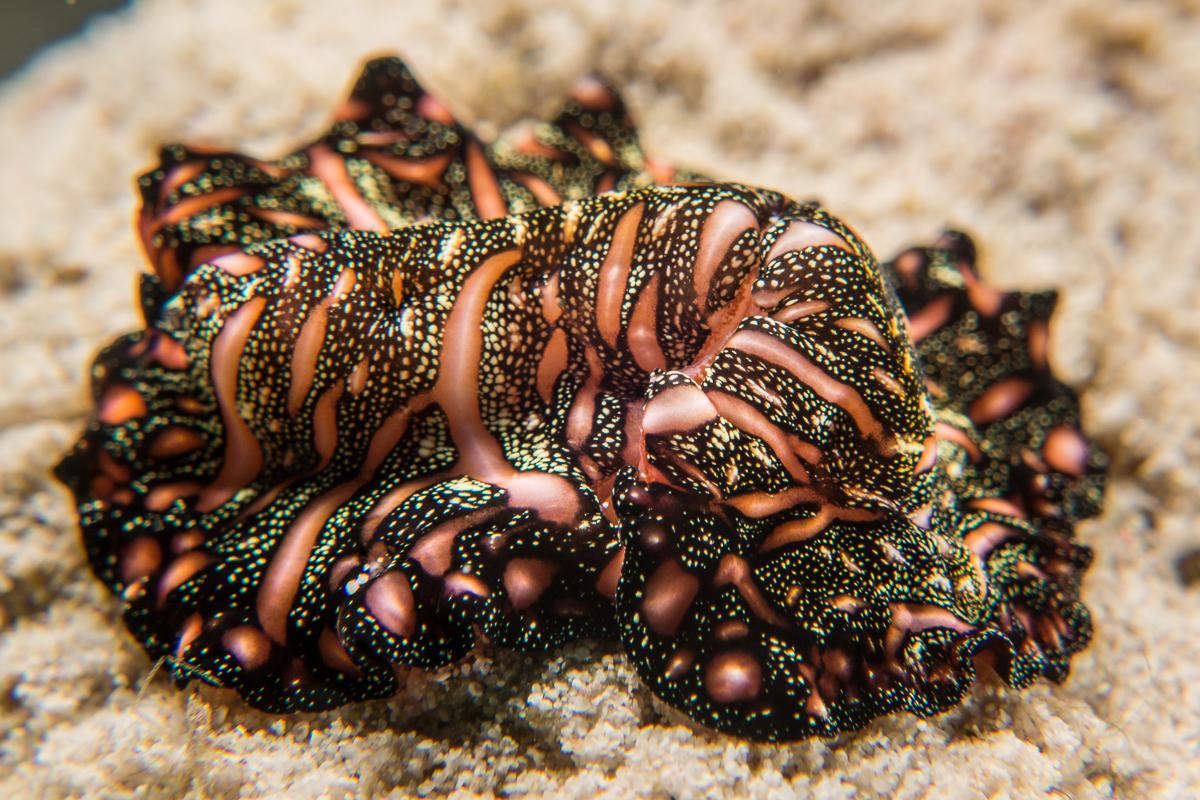 Flatworm -Raja Ampat- 20141012 091813 UW 03652