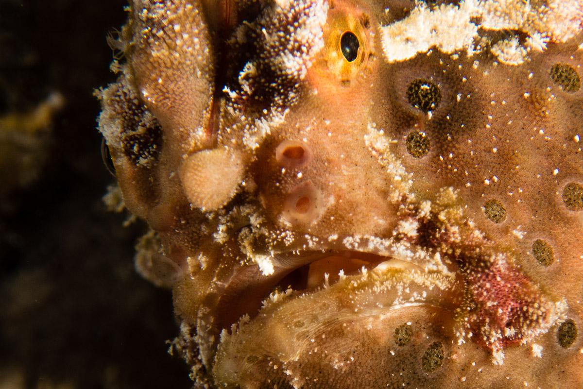 Frogfish -Raja Ampat- 20141011 200216 UW 03558