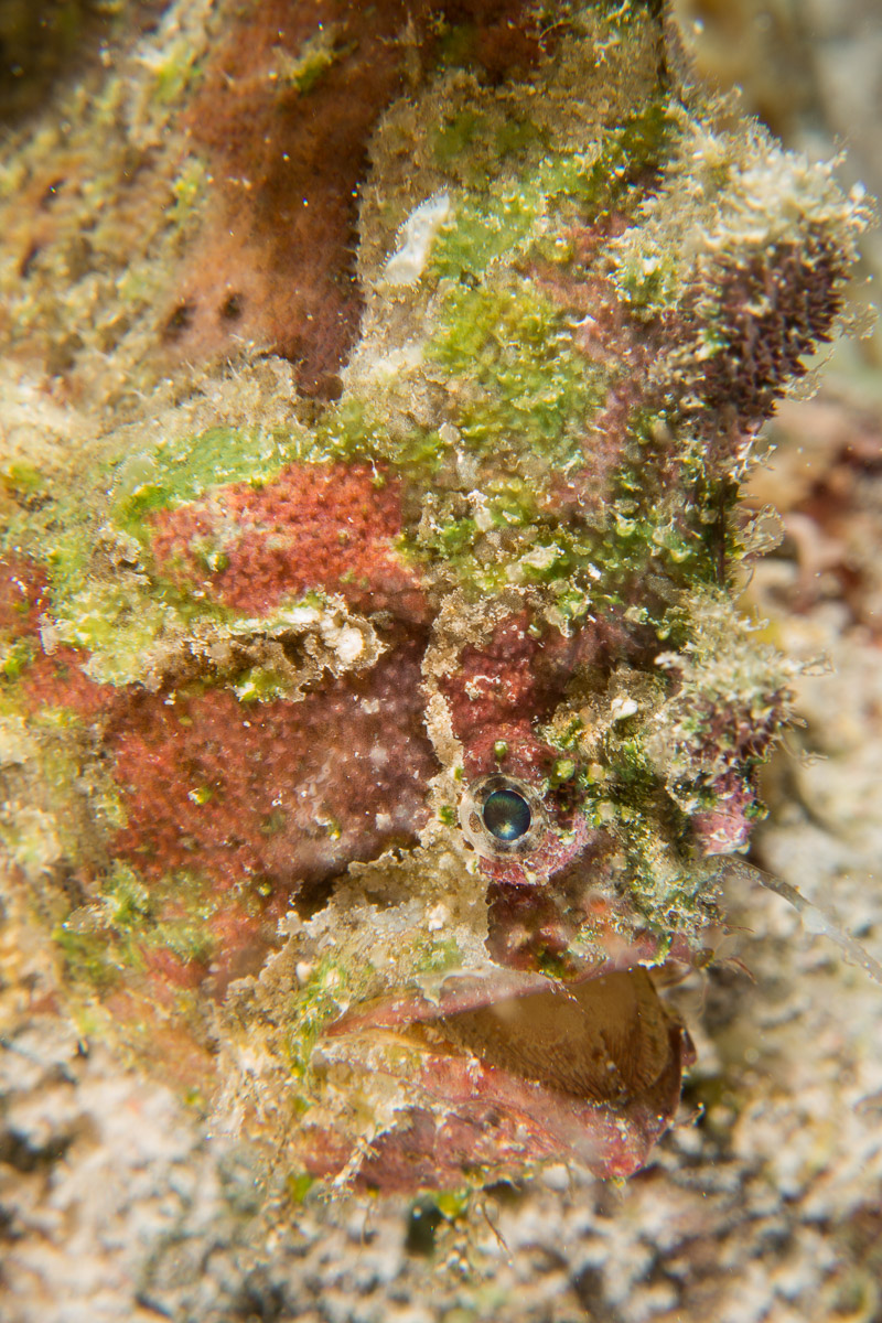 Frogfish -Raja Ampat- 20141012 190308 UW 03828