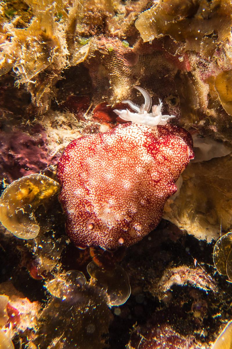 Nudibranch -Raja Ampat- 20141009 090346 UW 02685