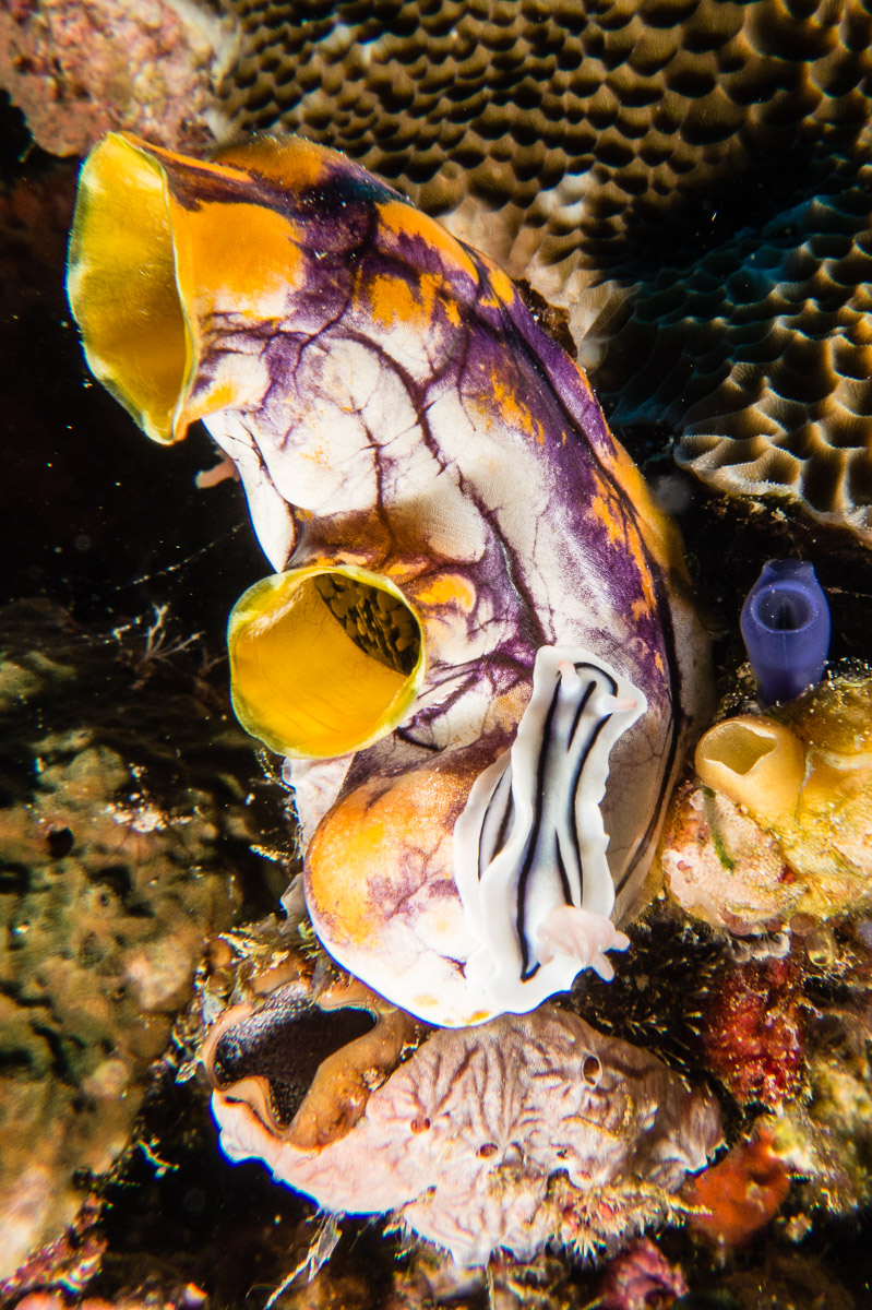 Nudibranch -Raja Ampat- 20141009 163210 UW 02852