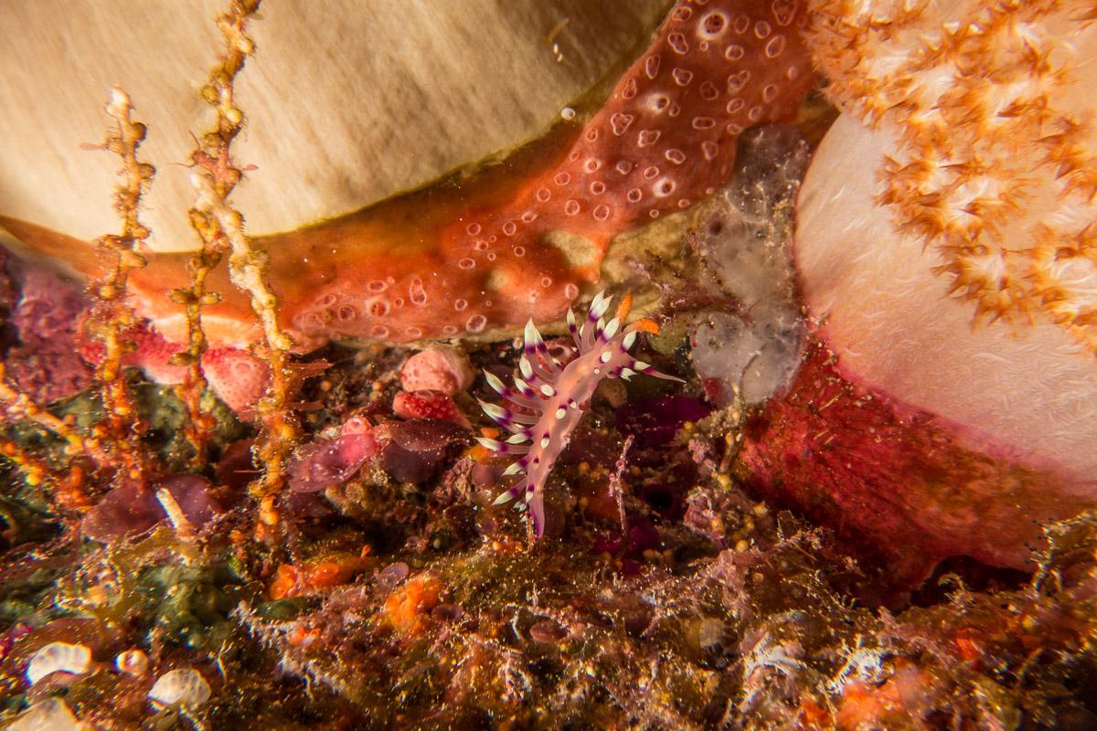 Nudibranch -Raja Ampat- 20141009 164052 UW 02871