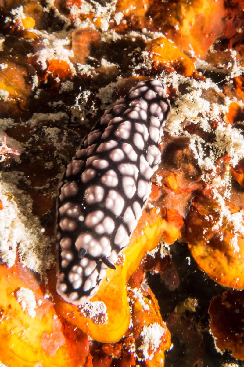Nudibranch -Raja Ampat- 20141012 093406 UW 03680