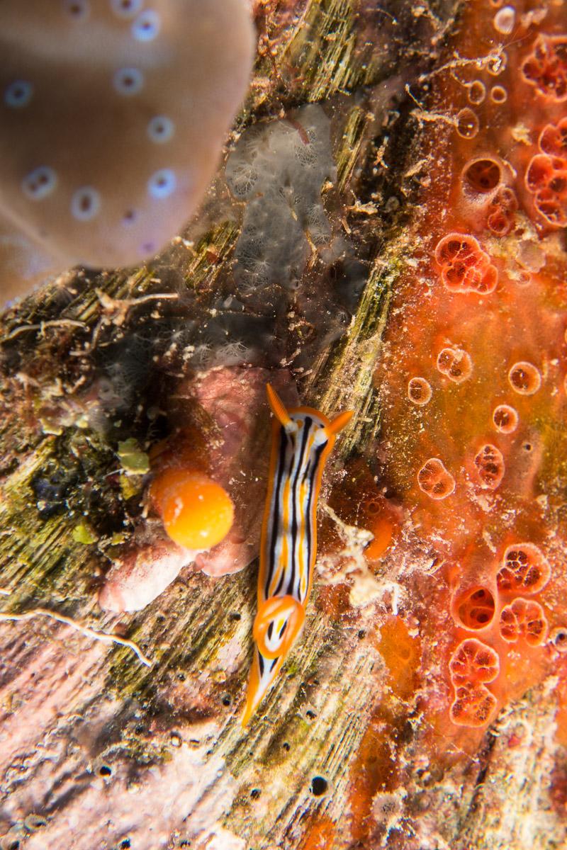 Nudibranch -Raja Ampat- 20141015 124509 UW 04768