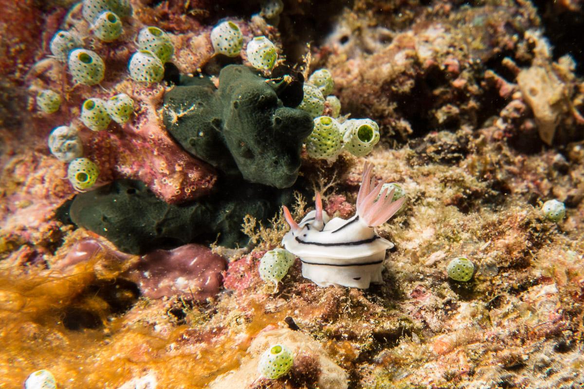 Nudibranch -Raja Ampat- 20141016 150206 UW 05271