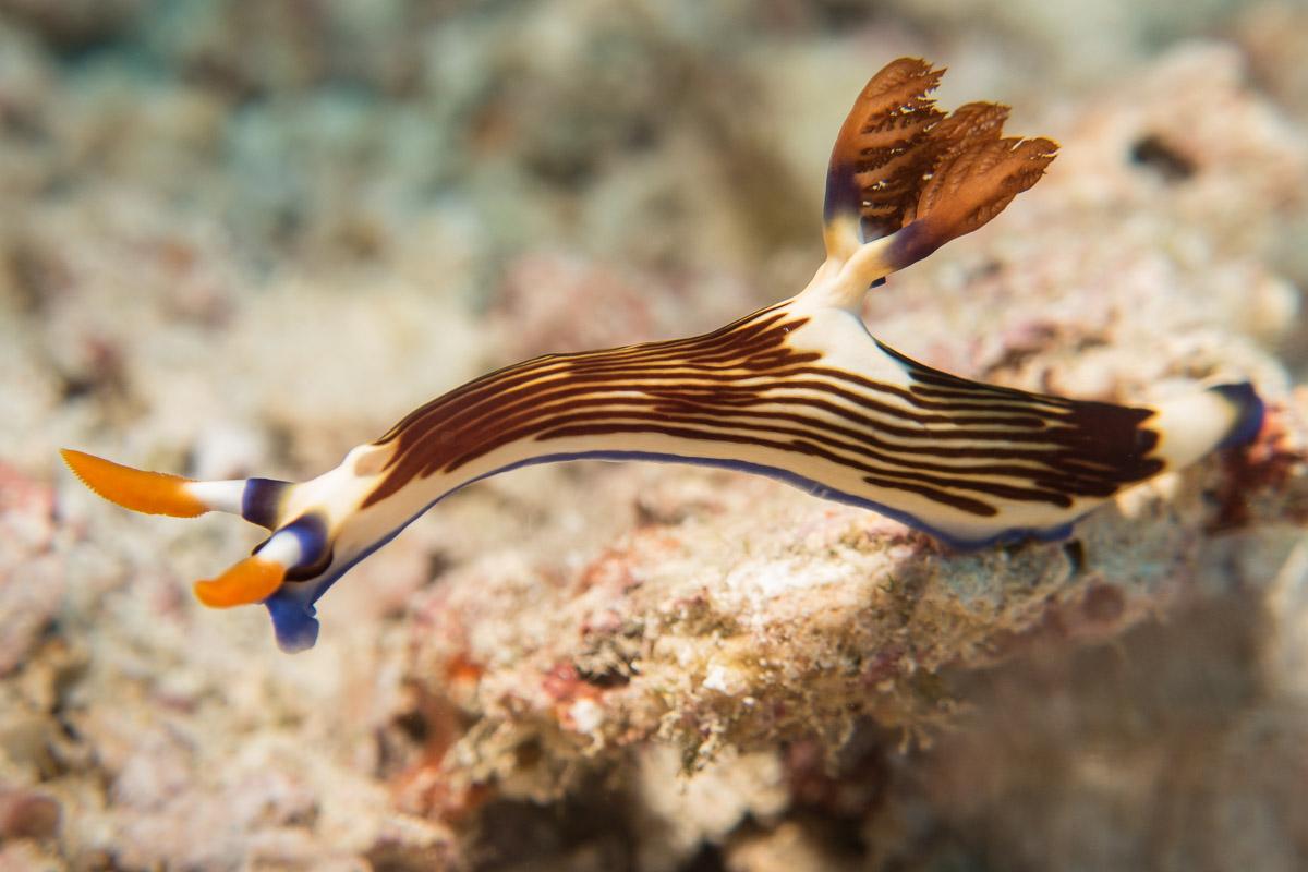 Nudibranch -Raja Ampat- 20141018 091543 UW 05930