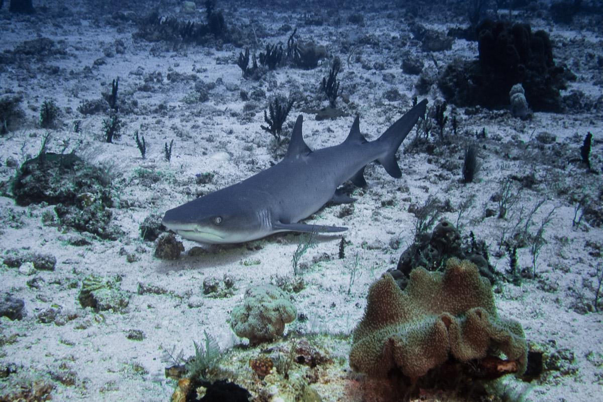 Reefshark -Raja Ampat- 20141008 112230 UW 02428