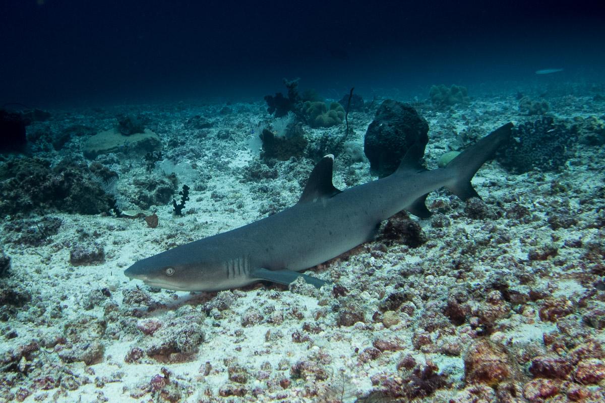 Reefshark -Raja Ampat- 20141008 112429 UW 02431