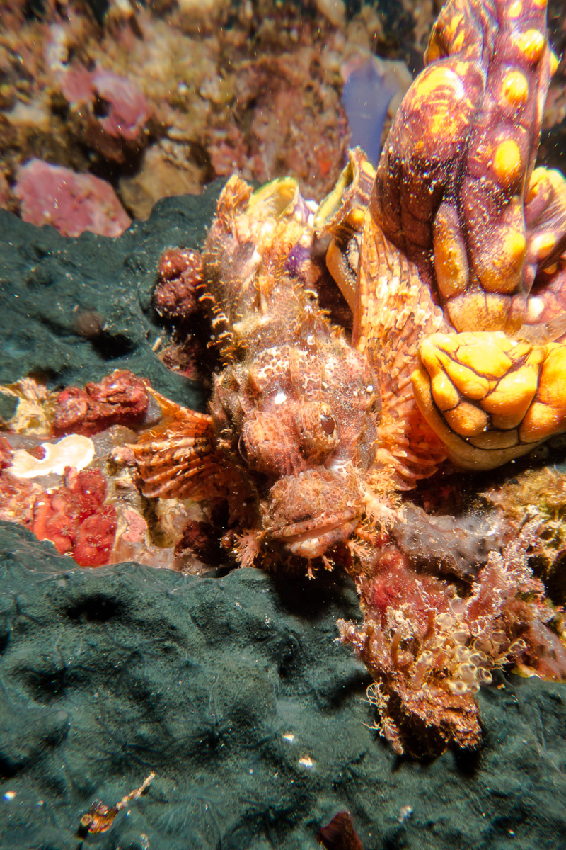 Scorpionfish -Raja Ampat- 20141006 123125 UW 01794