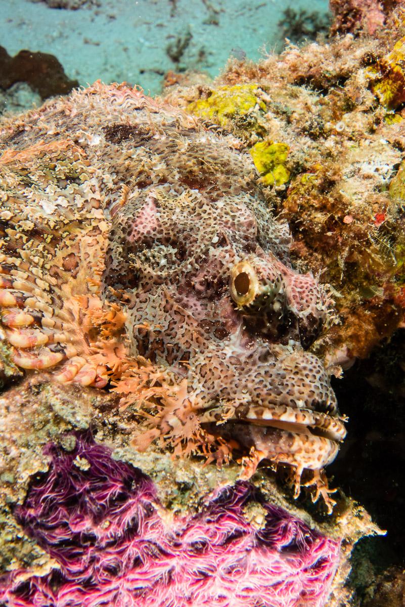 Scorpionfish -Raja Ampat- 20141006 125618 UW 01845