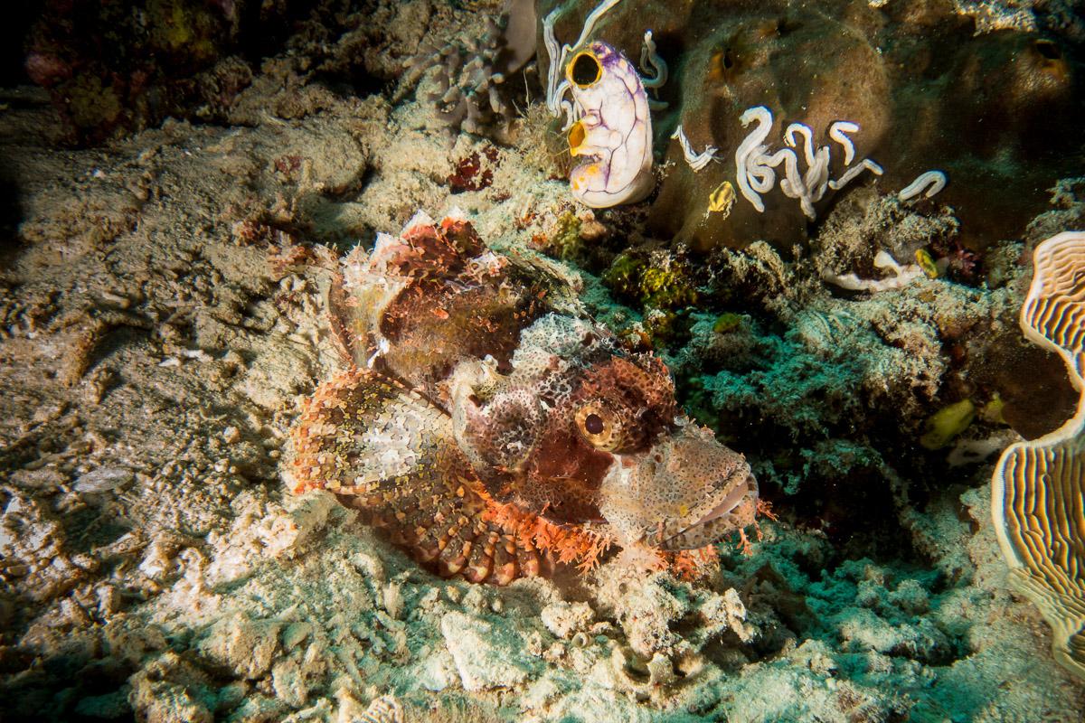 Scorpionfish -Raja Ampat- 20141012 085509 UW 03614