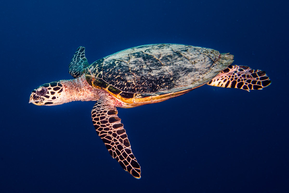 Sea turtle -Raja Ampat- 20141017 125925 UW 05681