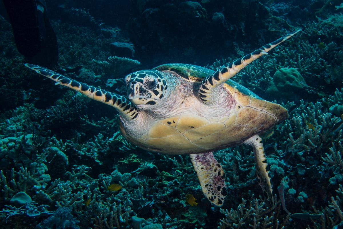 Sea turtle -Raja Ampat- 20141017 130005 UW 05687