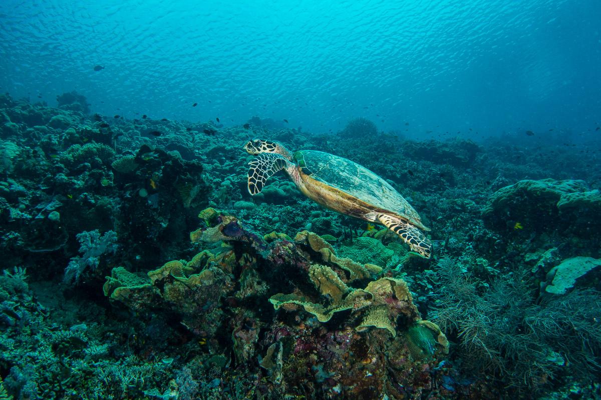 Sea turtle -Raja Ampat- 20141017 130103 UW 05691