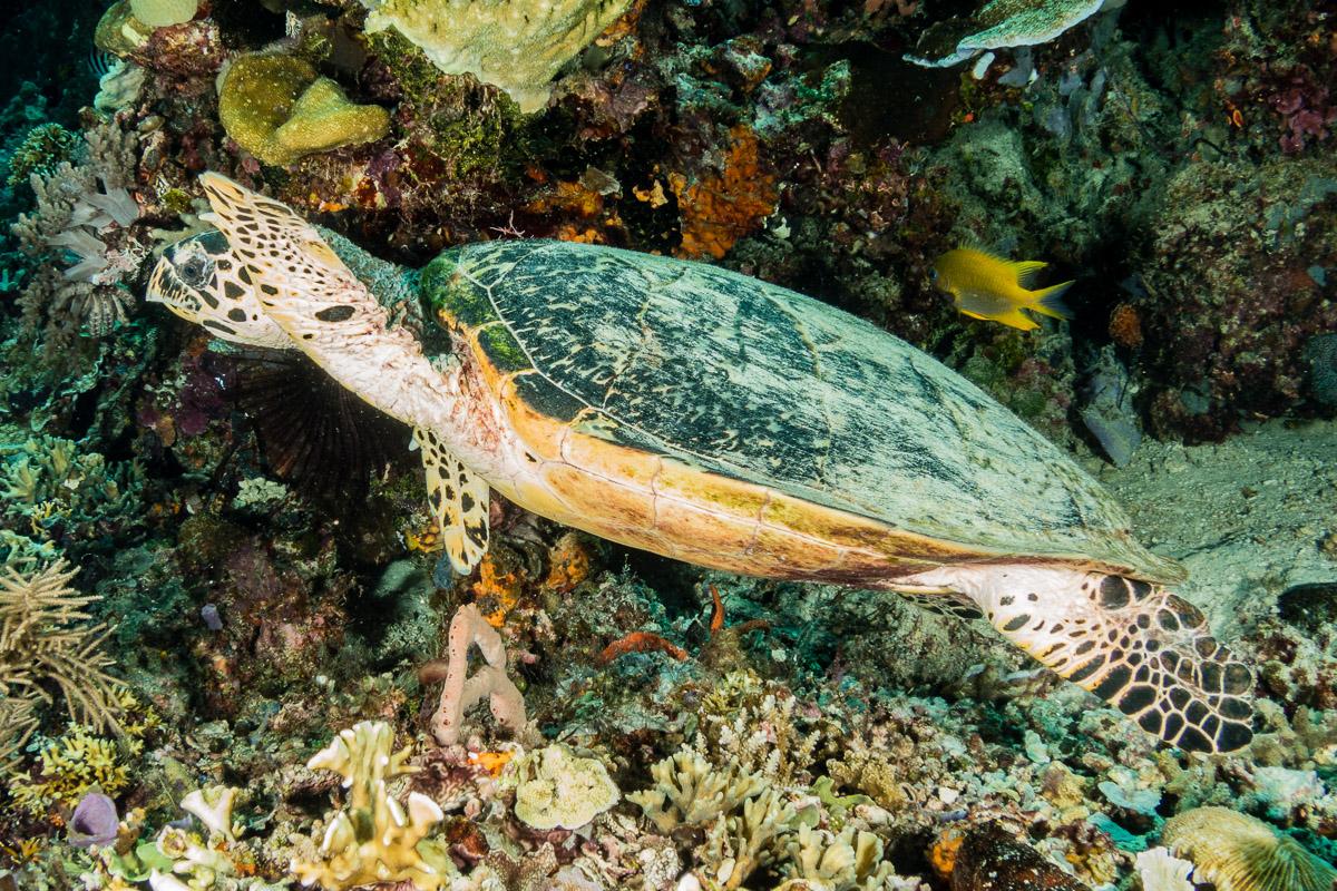 Sea turtle -Raja Ampat- 20141017 130329 UW 05701