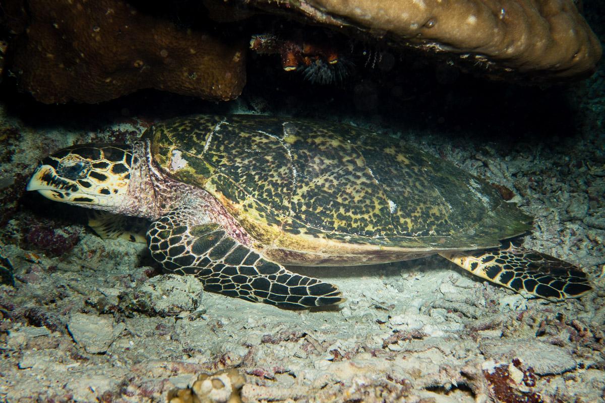 Sea turtle -Raja Ampat- 20141017 192000 UW 05760