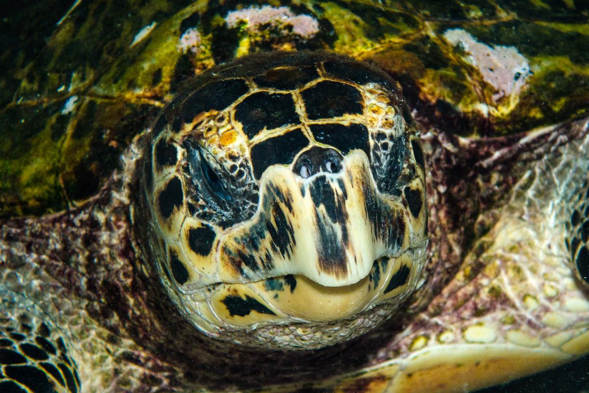 Sea turtle -Raja Ampat- 20141017 192120 UW 05769