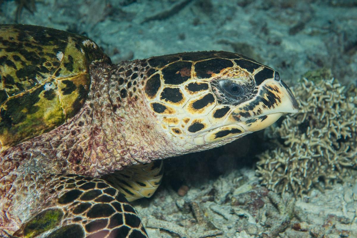 Sea turtle -Raja Ampat- 20141017 192128 UW 05770