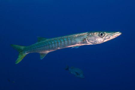 Barracuda -Raja Ampat- 20141008 162103 UW 02569-A1