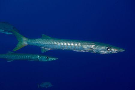 Barracuda -Raja Ampat- 20141008 162125 UW 02572