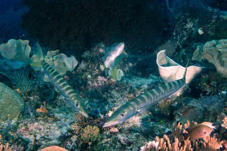 Barracuda -Raja Ampat- 20141010 090757 UW 02946