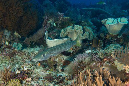 Barracuda -Raja Ampat- 20141010 090808 UW 02948