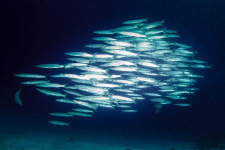 Barracuda -Raja Ampat- 20141017 102657 UW 05603-A1