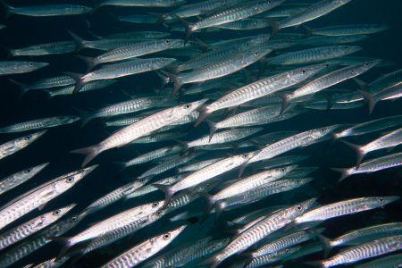 Barracuda -Raja Ampat- 20141017 102838 UW 05611