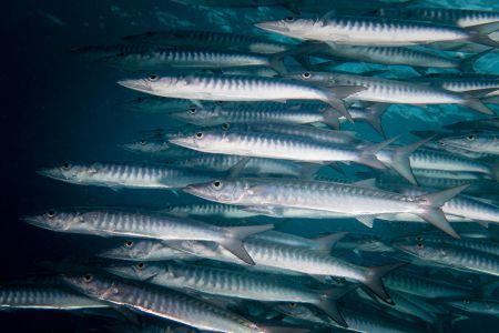 Barracuda -Raja Ampat- 20141017 102940 UW 05617