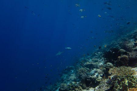 Blacktip-Reefshark -Raja Ampat- 20141018 122758 UW 06063