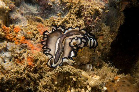 Flatworm -Raja Ampat- 20141013 151701 UW 04175