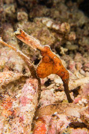 Ghost Pipefish -Raja Ampat- 20141015 094525 UW 04663