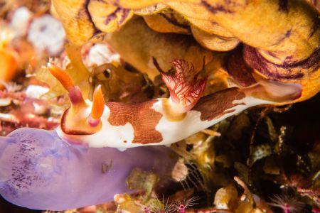 Nudibranch -Raja Ampat- 20141010 092445 UW 02972