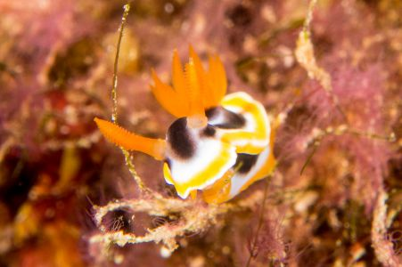 Nudibranch -Raja Ampat- 20141015 100036 UW 04690
