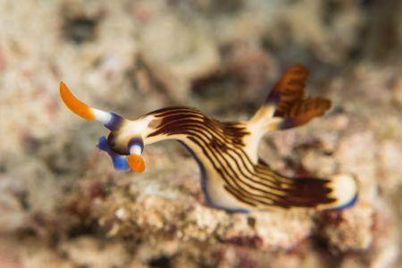 Nudibranch -Raja Ampat- 20141018 091513 UW 05926