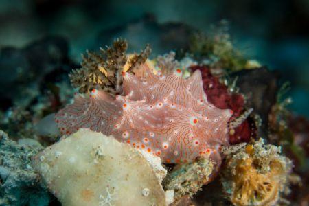 Nudibranch -Raja Ampat- 20141018 091740 UW 05934