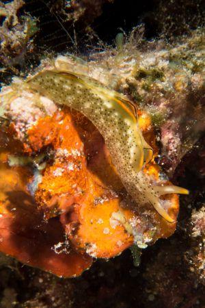 Nudibranch -Raja Ampat- 20141018 113954 UW 06015