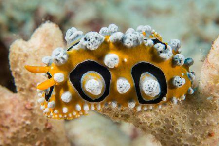 Nudibranch -Raja Ampat- 20141018 114719 UW 06018