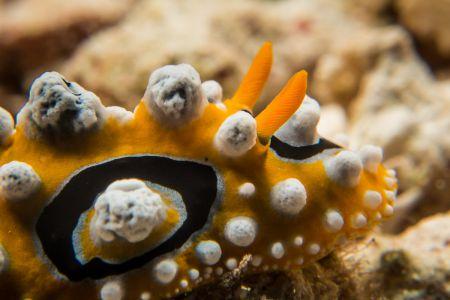 Nudibranch -Raja Ampat- 20141018 115130 UW 06028