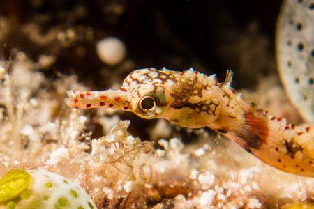 Pipefish -Raja Ampat- 20141014 124235 UW 04432-2
