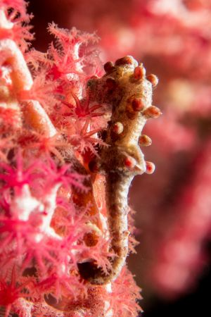 Pygmy-Seahorse -Raja Ampat- 20141014 122615 UW 04407